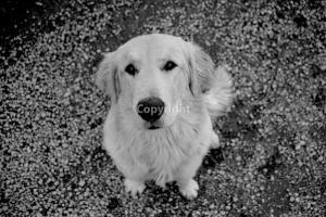 chien+labrador_8236